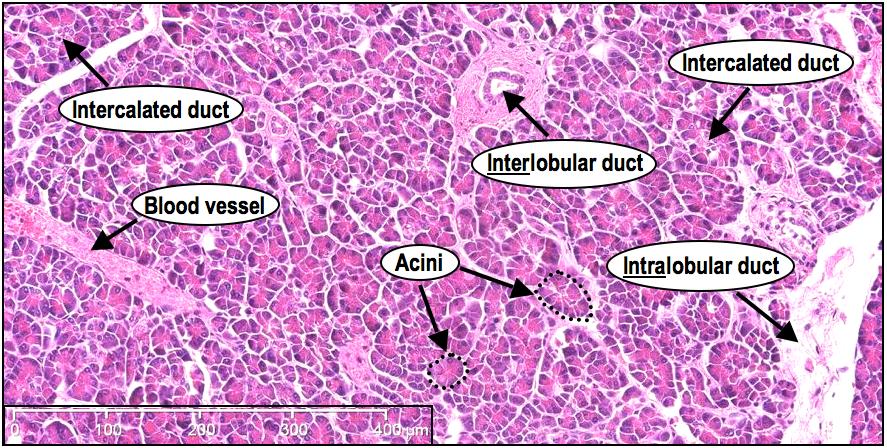 Histoquarterly Pancreas Histology Blog