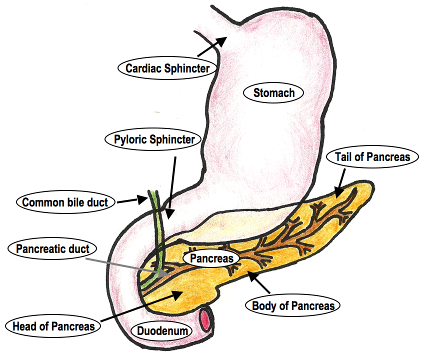 Histoquarterly Pancreas Histology Blog
