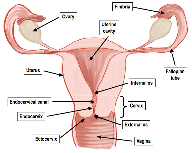 Very Organs female reproductive system