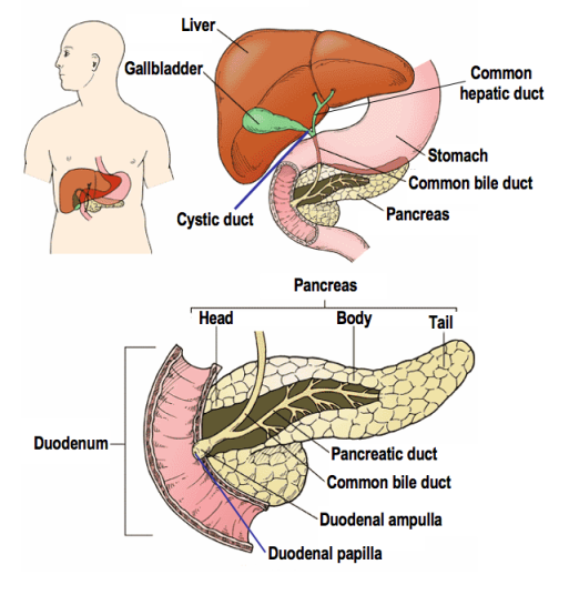 Anatomical location of the gallbladder [image credit: wikicommons]