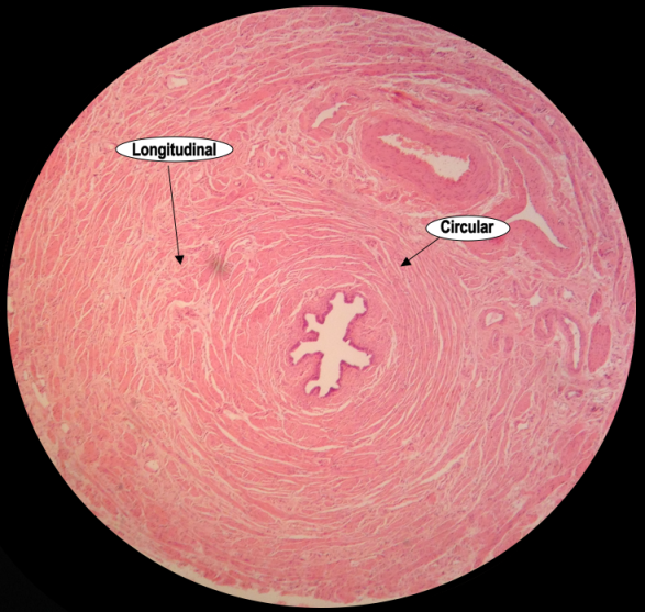 An image showing a low power Haematoxylin & Eosin stained section of the human fallopian tube, showing the patterns formed by longitudinal and circular muscle fibres.