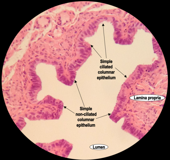 An image showing a high power Haematoxylin & Eosin stained section of simple columnar epithelium (ciliated and non-ciliated) in the human fallopian tube.