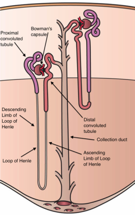 An image showing a nephron